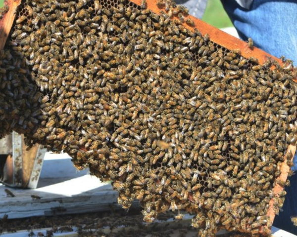 Western Honey Bee Mix, Conservation Blueprint