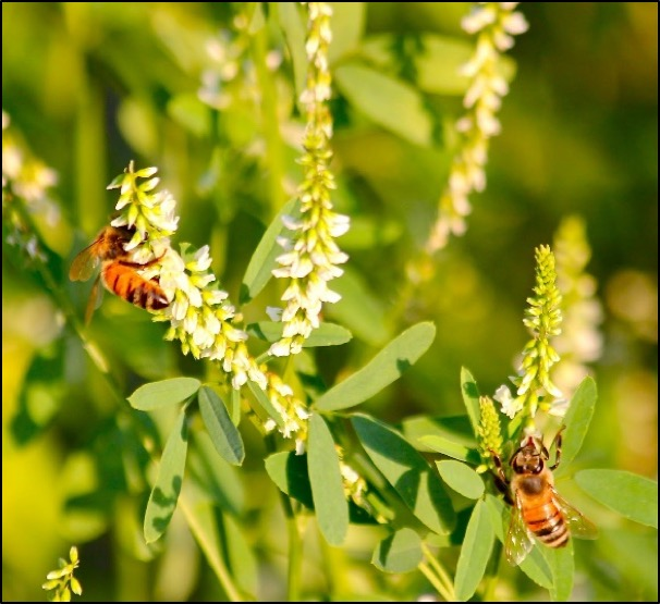 Great Plains Honey Bee Mix, Conservation Blueprint