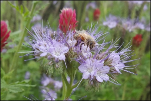 Midwest Honey Bee Mix, Conservation Blueprint